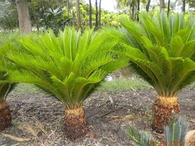 Venta de palmas en panam grama fina panam for Vivero las palmas