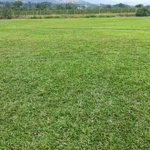 Productores de Césped Natural Panamá